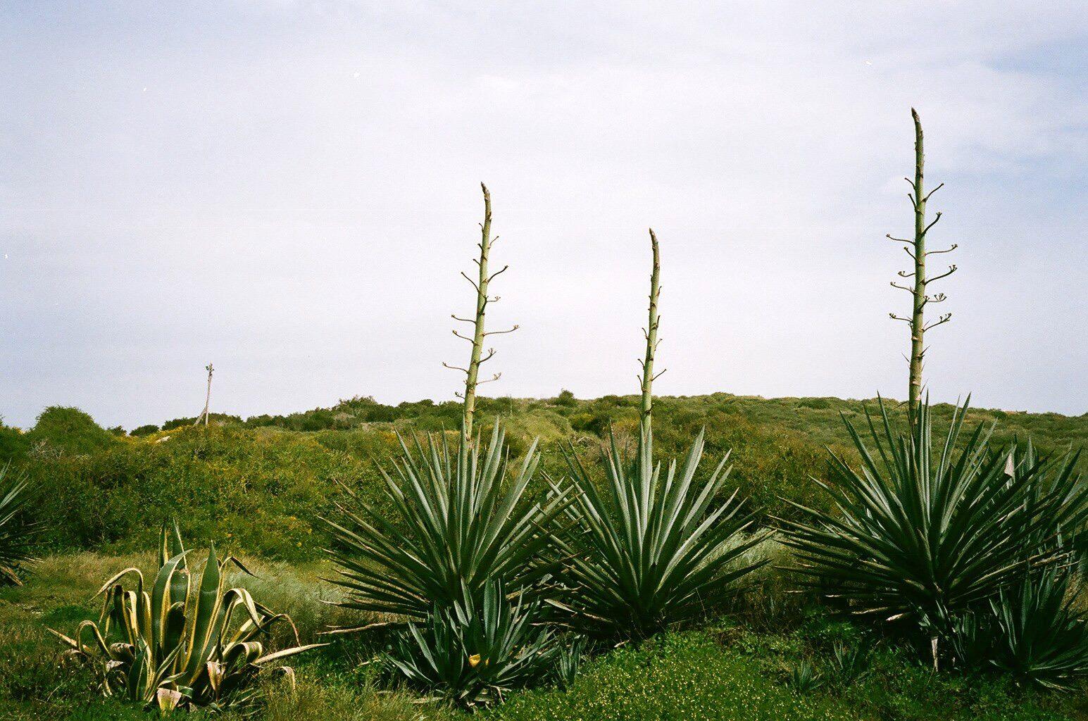 דויד סקורי - צילום צמח הגברא בחוף פלמחים